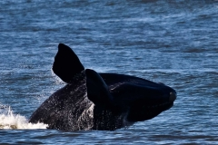 CALF-BREACHING-AUG-2011