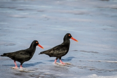 OYSTER-CATCHERS-SFB-2013-027-2