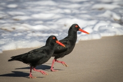 OYSTER-CATCHERS-SFB-2013-047-2